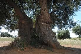 alberi secolari siracusa times