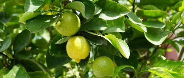 agrumi limoni siracusa times
