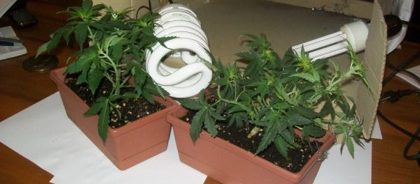 piantine marijuana - siracusatimes
