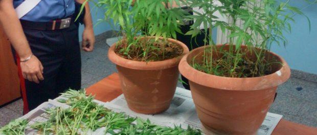 piante canapa indiana floridia