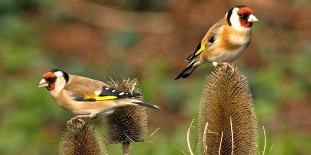 cardellini-uccelli-lipu-siracusa-times