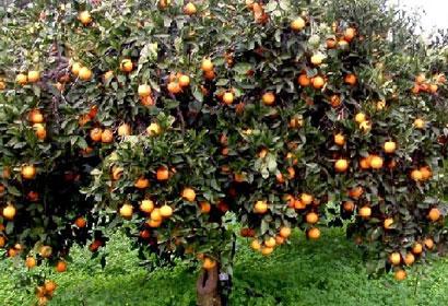 arancio siracusa times