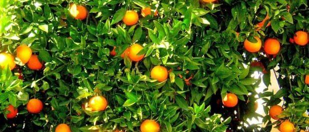 albero di arancio siracusa times-min